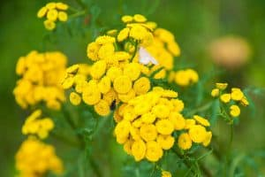wellnessaromas-aromatherapy-essential-oil_blue-tansy-benefits-uses