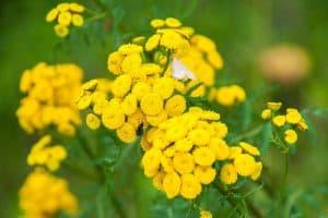 wellnessaromas-aromatherapy-essential-oil_blue-tansy-benefits-uses