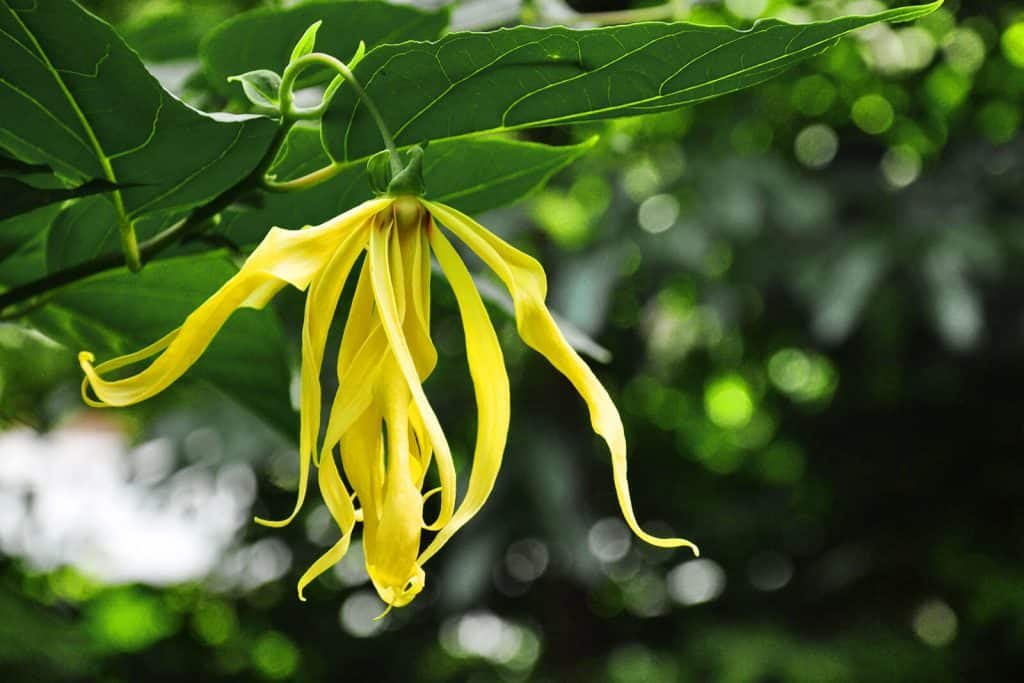 wellnessaromas-aromatherapy-essential-oil_ylang-ylang-benefits-uses