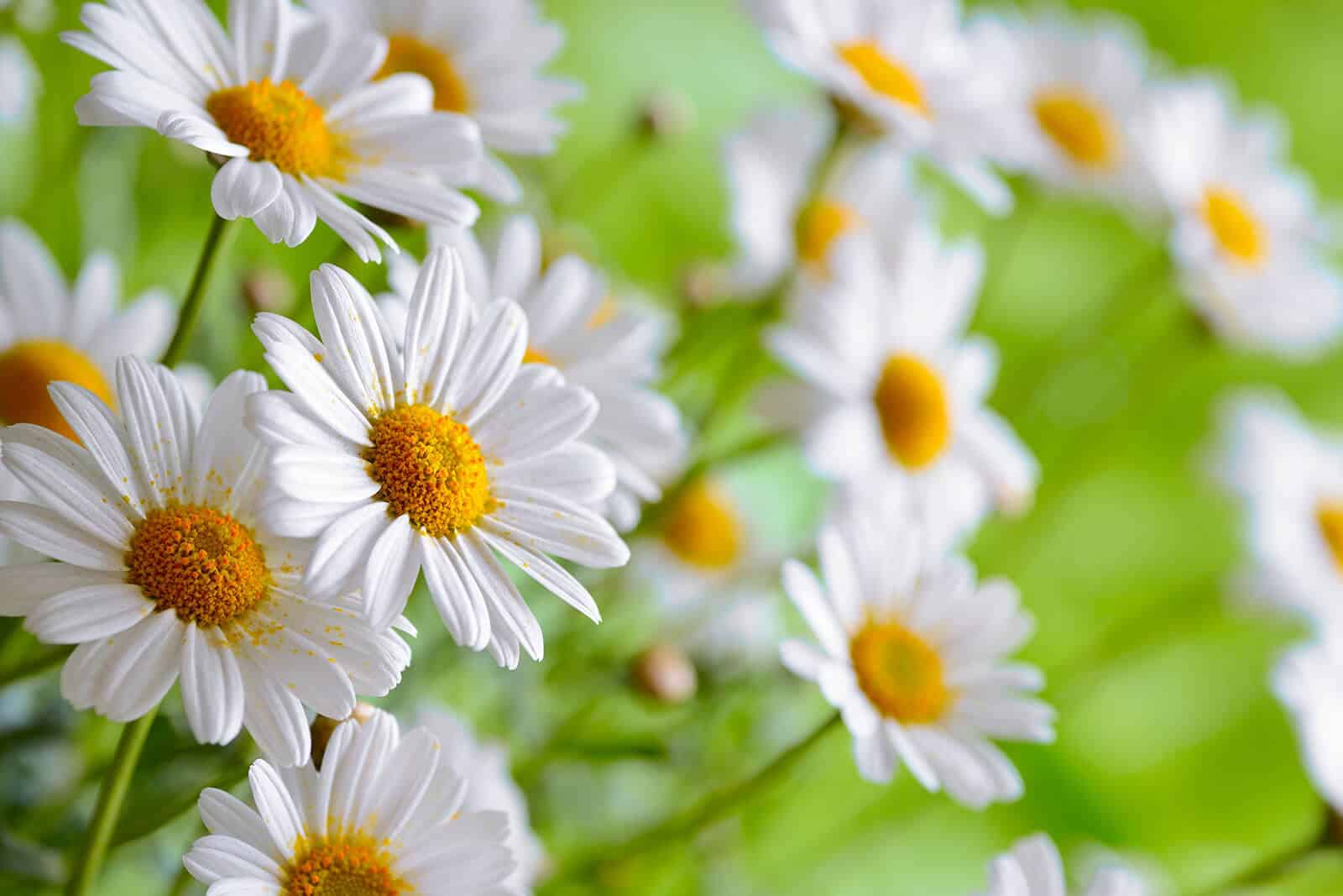 wellnessaromas-aromatherapy-essential-oil_chamomile-benefits-uses