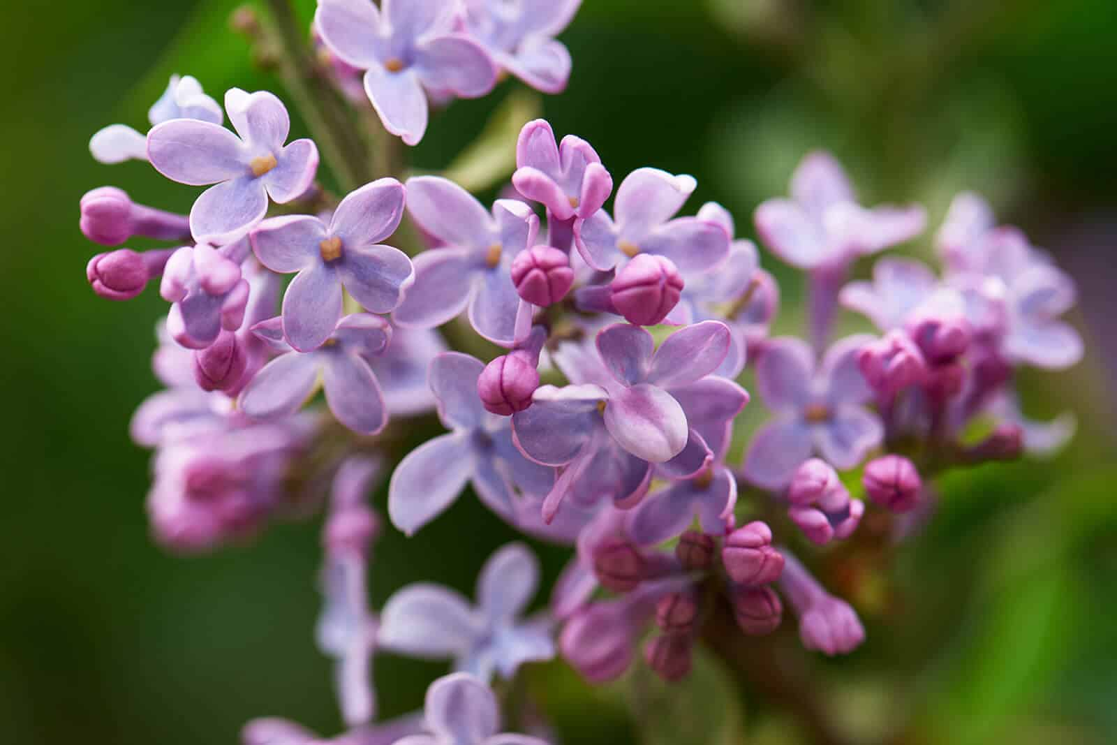 wellnessaromas-aromatherapy-essential-oil_lilac-benefits-uses