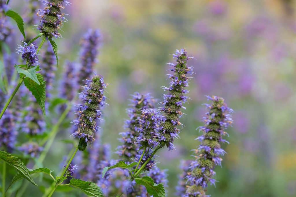 wellnessaromas-aromatherapy-essential-oil_vervain-benefits-uses