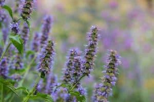 wellnessaromas-aromatherapy-essential-oil_vervain-benefits-uses