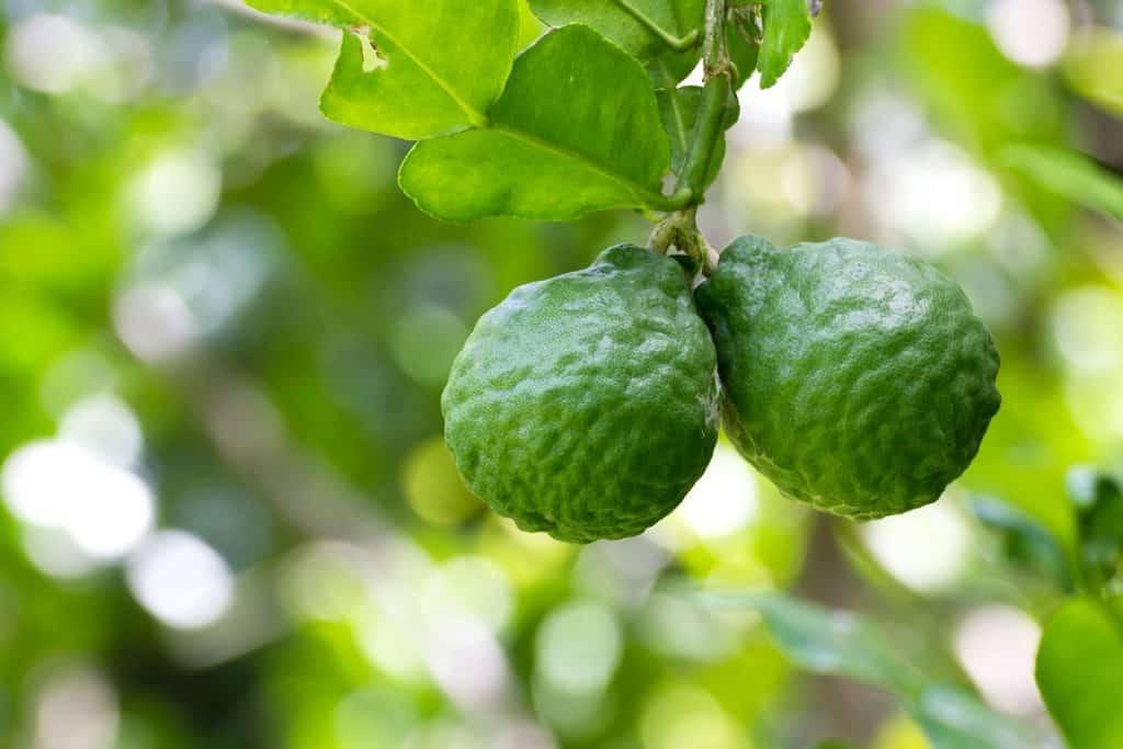wellnessaromas-aromatherapy-essential-oil_bergamot-benefits-uses