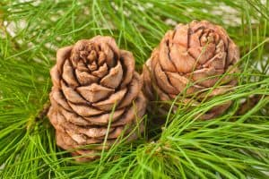 wellnessaromas-aromatherapy-essential-oil_cedarwood-benefits-uses