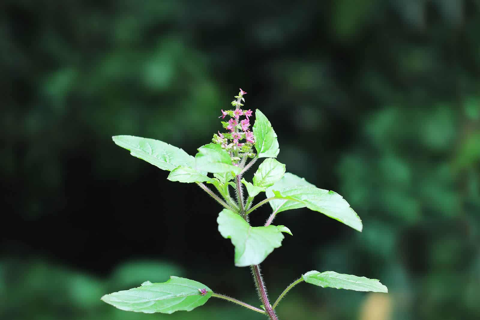 wellnessaromas-aromatherapy-essential-oil_holy-basil-benefits-uses