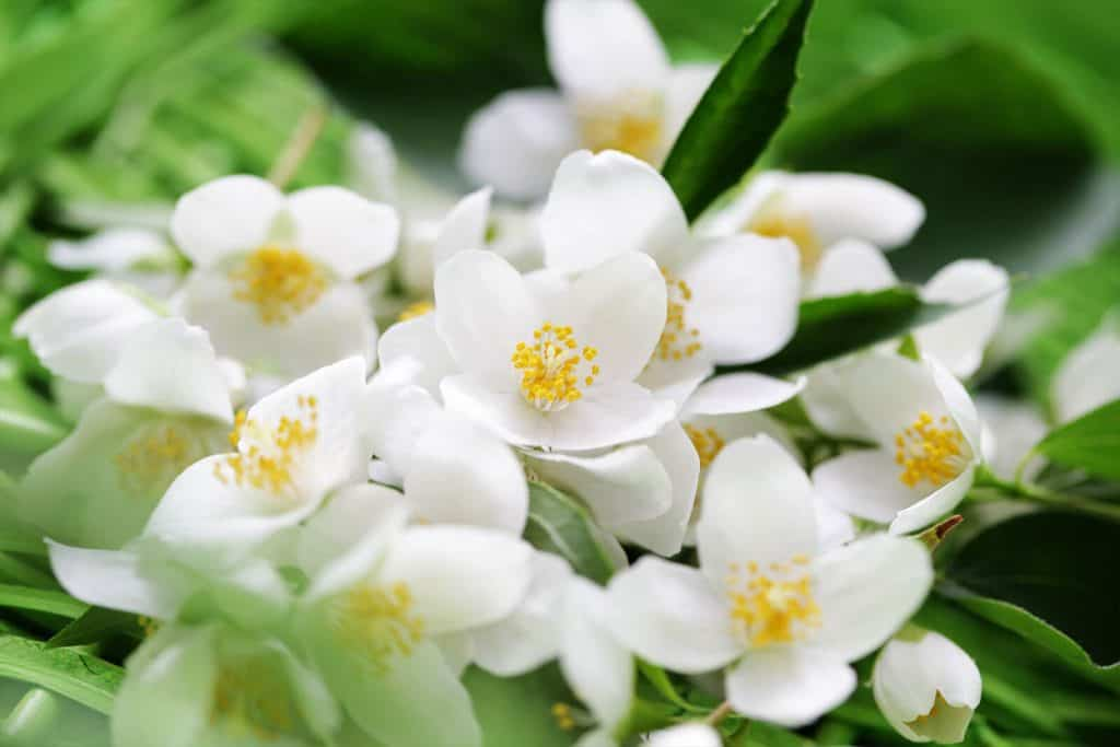 wellnessaromas-aromatherapy-essential-oil_jasmine-benefits-uses