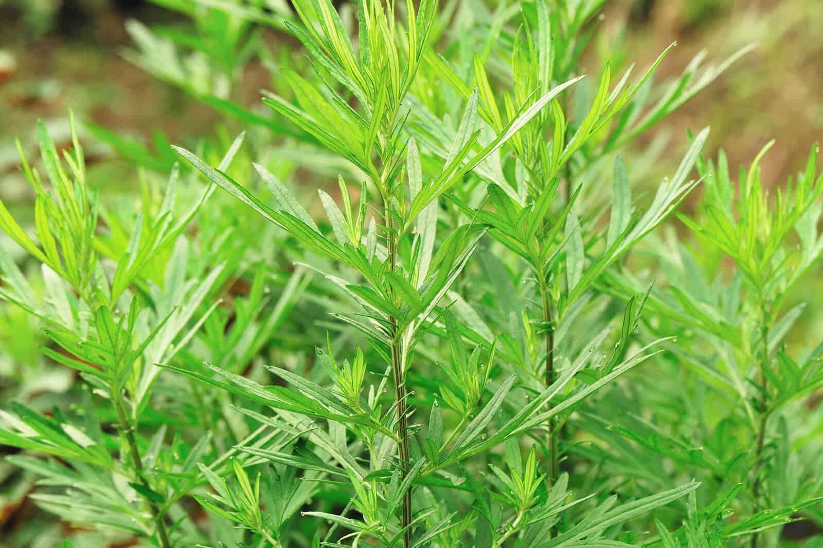 wellnessaromas-aromatherapy-essential-oil_mugwort-benefits-uses
