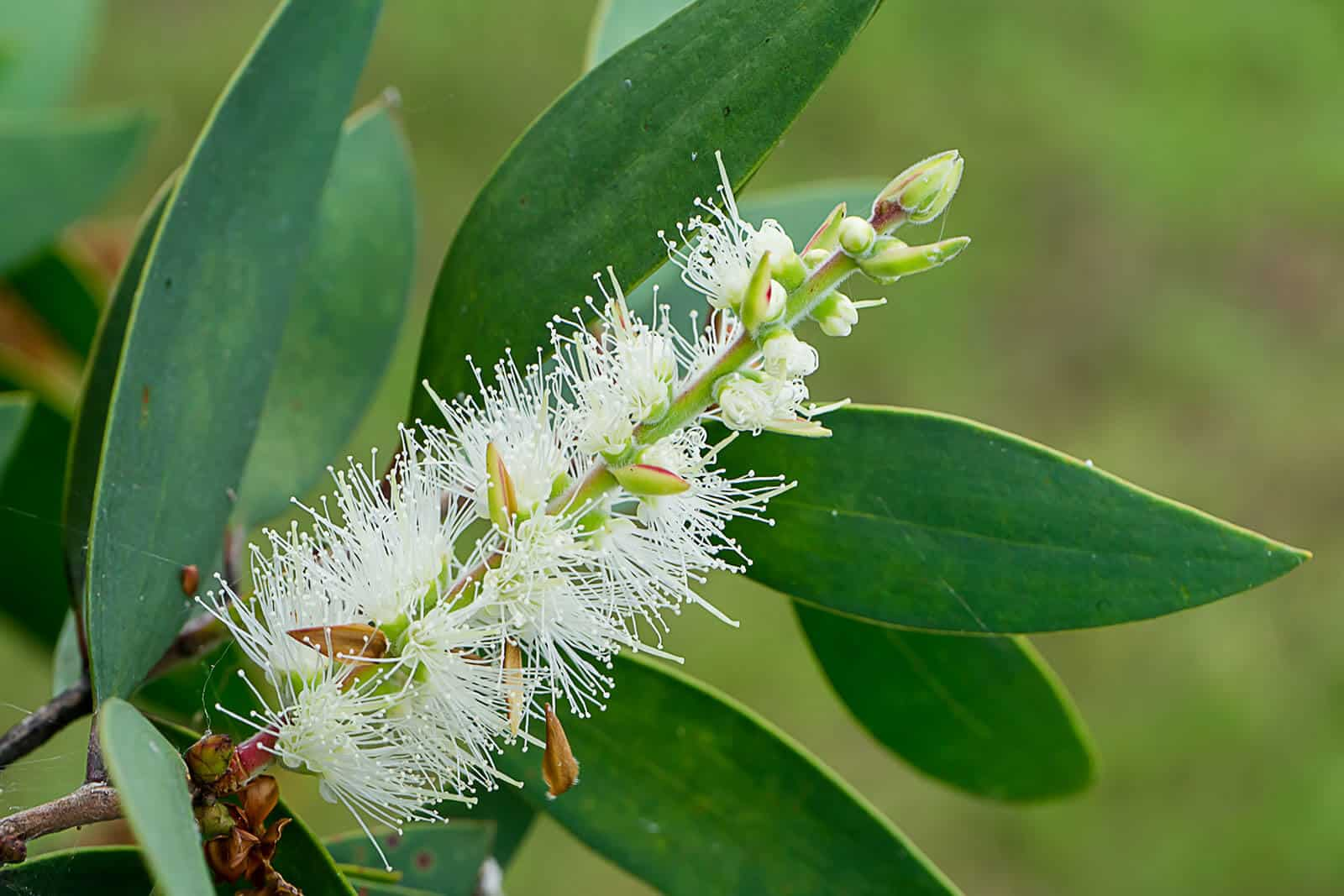 wellnessaromas-aromatherapy-essential-oil_niaouli-benefits-uses