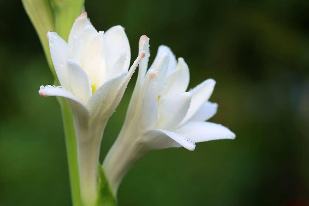 wellnessaromas-aromatherapy-essential-oil_tuberose-benefits-uses
