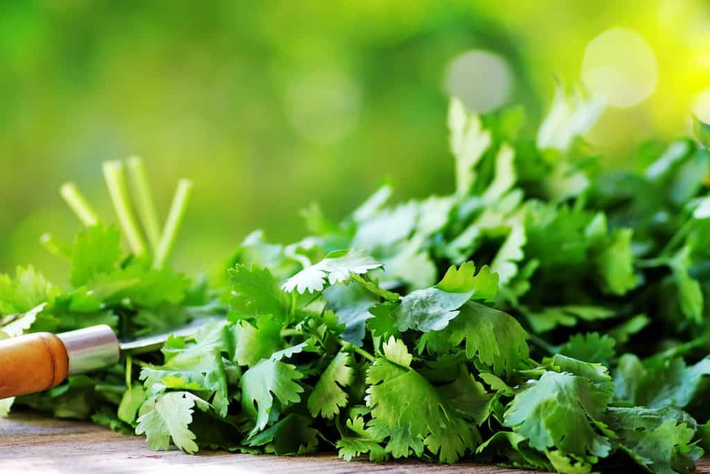 wellnessaromas-aromatherapy-essential-oil_cilantro-benefits-uses