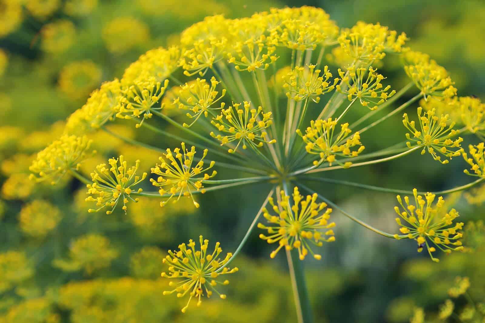 wellnessaromas-aromatherapy-essential-oil_galbanum-benefits-uses