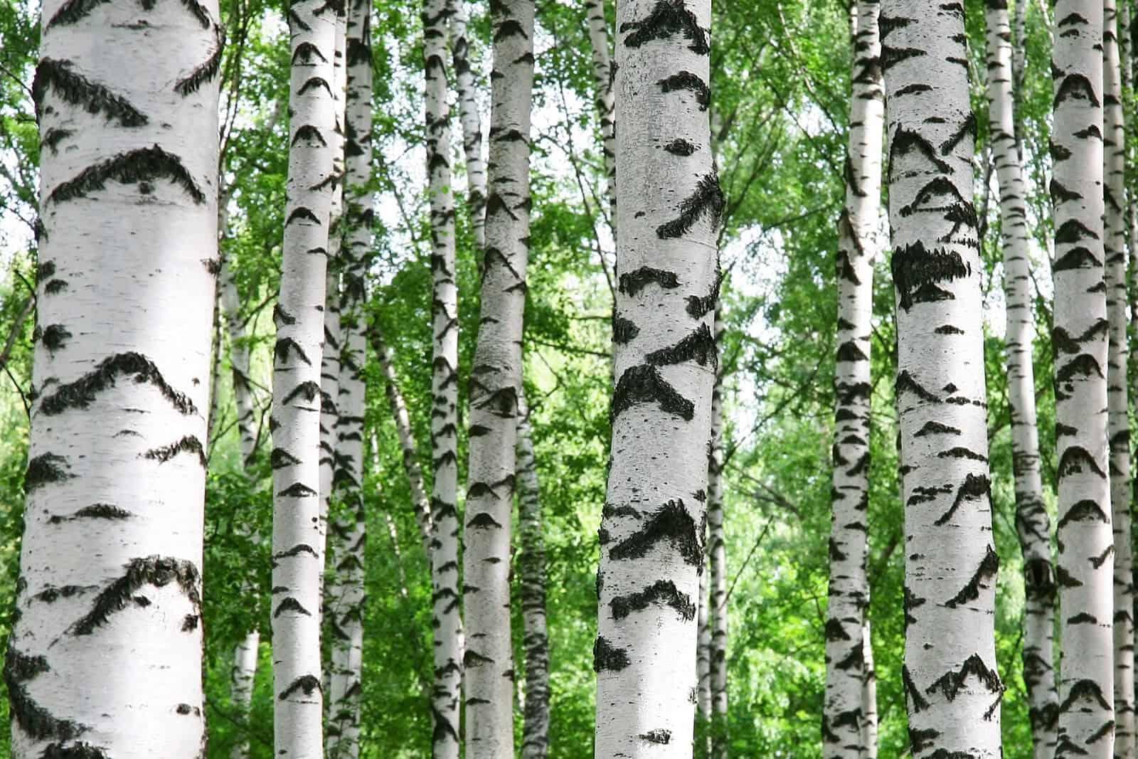 wellnessaromas-aromatherapy-essential-oil_birch-benefits-uses