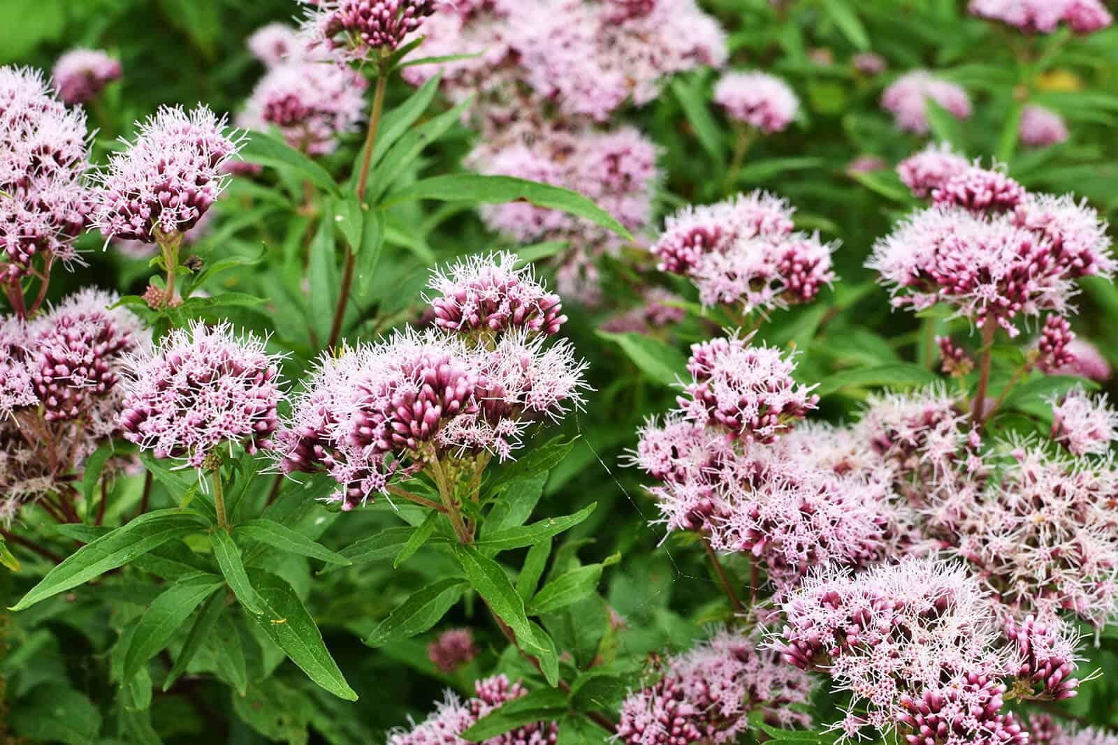 wellnessaromas-aromatherapy-essential-oil_valerian-benefits-uses