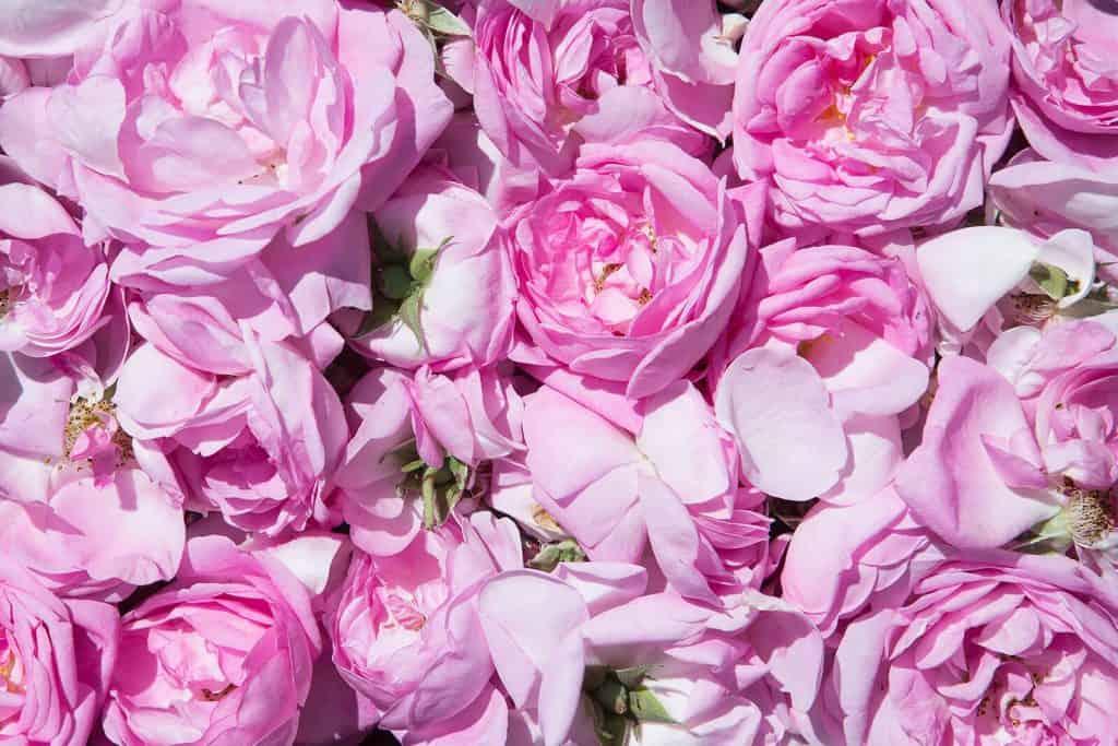 wellnessaromas-aromatherapy-essential-oil_rose-otto-benefits-uses
