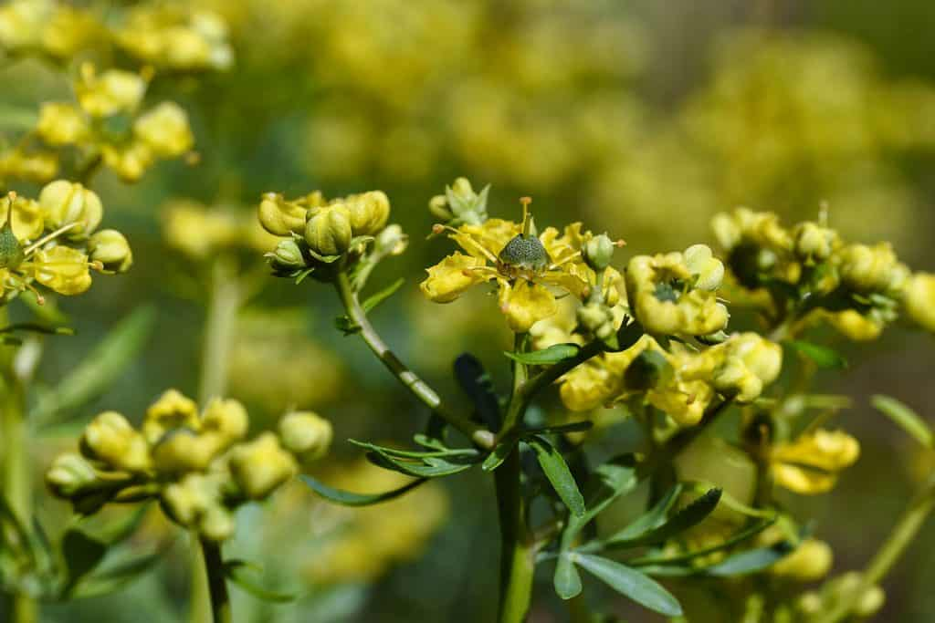 wellnessaromas-aromatherapy-essential-oil_rue-benefits-uses