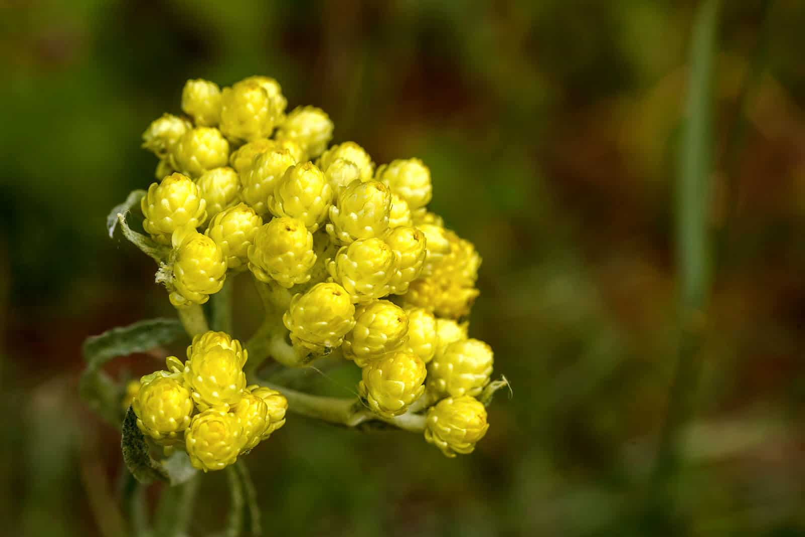 Helichrysum Essential Oil Benefits And Uses Wellness Aromas
