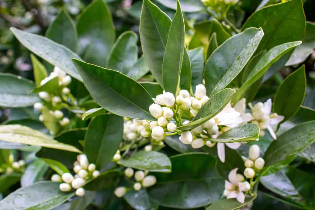 The Top 6 Proven Benefits and Uses of Neroli Essential Oil
