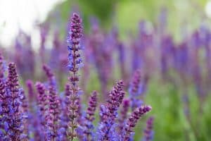 The Top 6 Proven Benefits and Uses of Sage Essential Oil