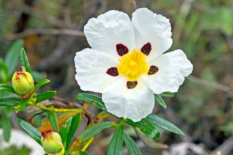 The Top 6 Proven Benefits and Uses of Cistus Essential Oil