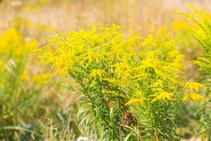 The Top 6 Proven Benefits and Uses of Goldenrod Essential Oil
