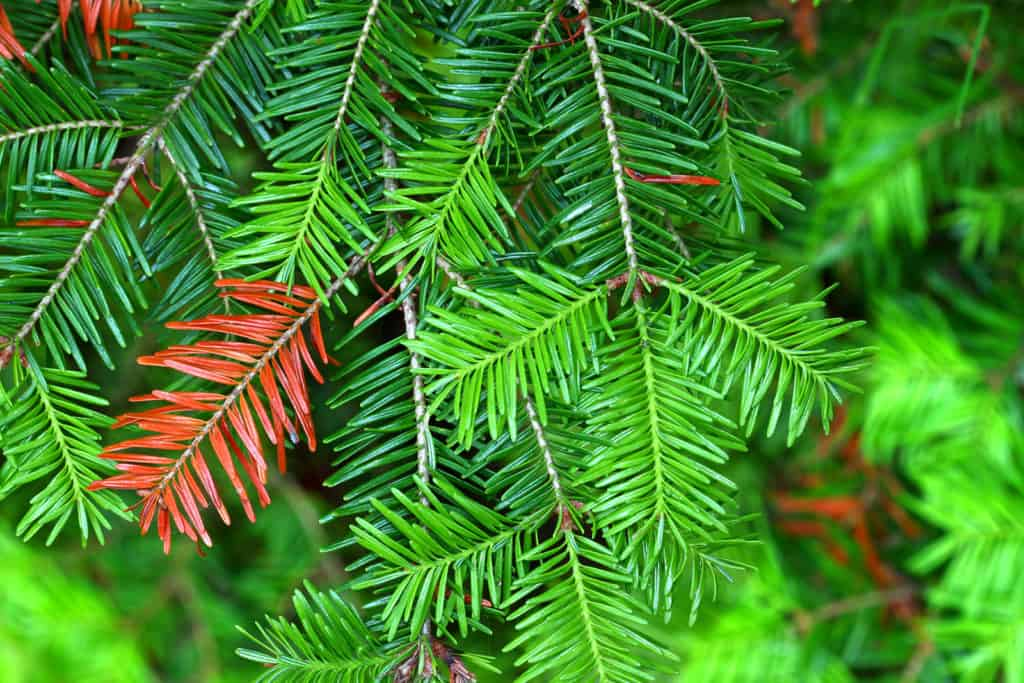 Balsam Fir Essential Oil Benefits and Uses