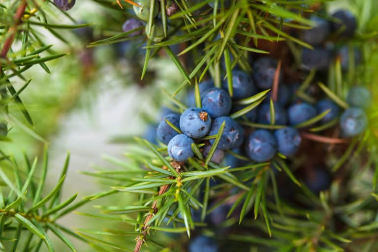 Juniper Berry Essential Oil Benefits and Uses