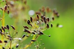 Fennel Essential Oil Benefits and Uses