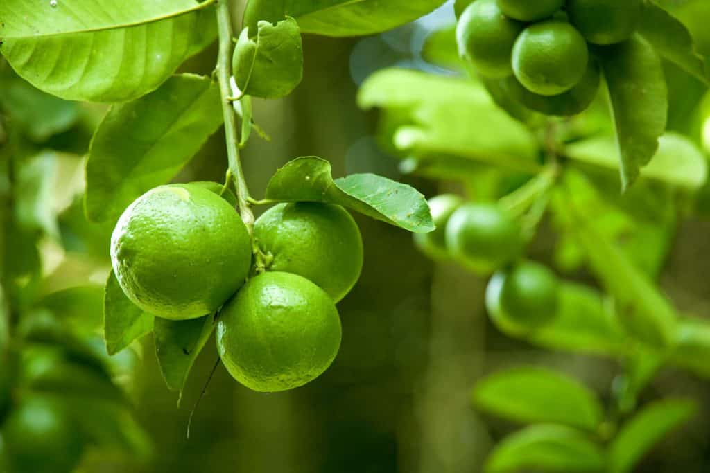 Lime Essential Oil Benefits and Uses