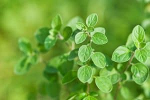 Oregano Essential Oil Benefits and Uses